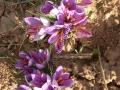 azafran-de-pirineo-benabarre-benabarri-gurmet-ecologic-slowfood-estanya11