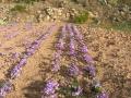 azafran-de-pirineo-benabarre-benabarri-gurmet-ecologic-slowfood-estanya14