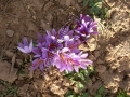 azafran-de-pirineo-benabarre-benabarri-gurmet-ecologic-slowfood-estanya16