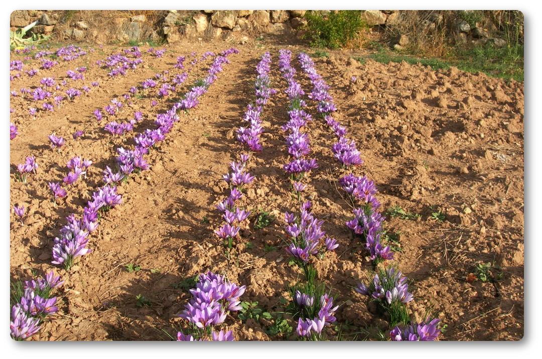 azafran-de-pirineo-benabarre-benavarri-gourmet-ecologic-slowfood-estanya05